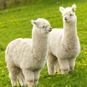 alpacas door Ernst Vikne